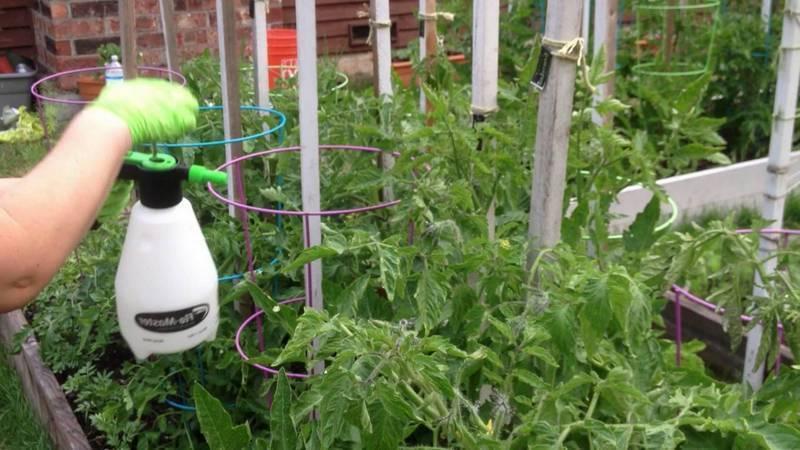 Как бороться с проволочником на помидорах в теплице и в открытом грунте