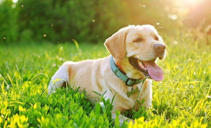 Укусы комара у собаки — симптомы, лечение, препараты, причины появления