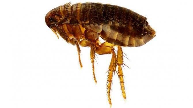 Виды вшей, как опознать паразита. какие бывают на голове и на теле у человека. фото и классификация вида