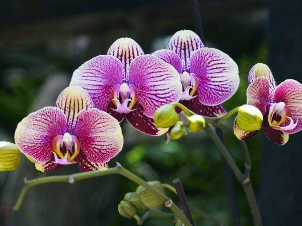 Откуда берутся трипсы на орхидее и как с ними бороться?