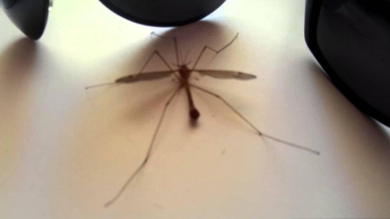 Что нужно знать о комаре-долгоножке