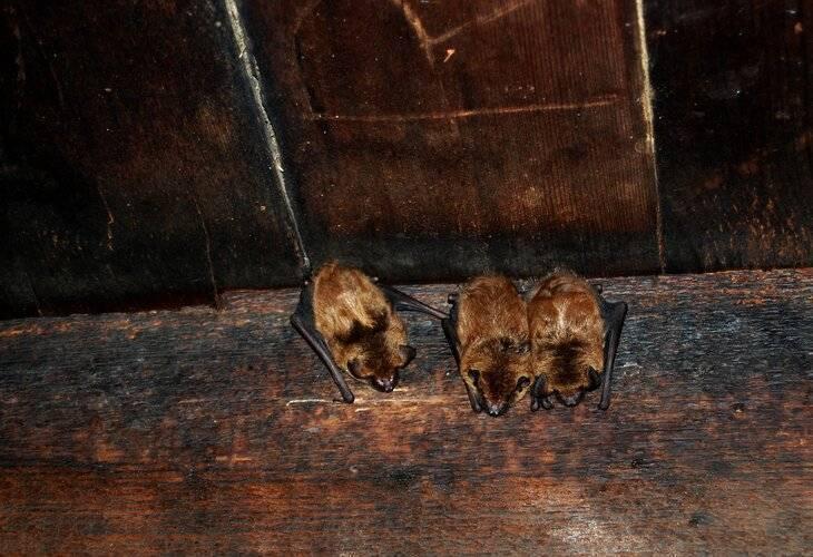 Чего боятся летучие мыши: как выгнать из дома