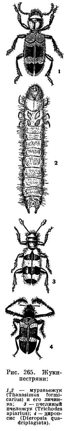Луговой мотылек – бабочка невзрачной наружности с огромным вредоносным потенциалом. самая большая бабочка в мире