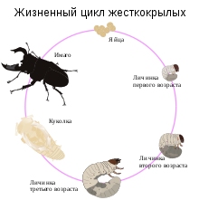 Медведка обыкновенная – от личинки до взрослой особи