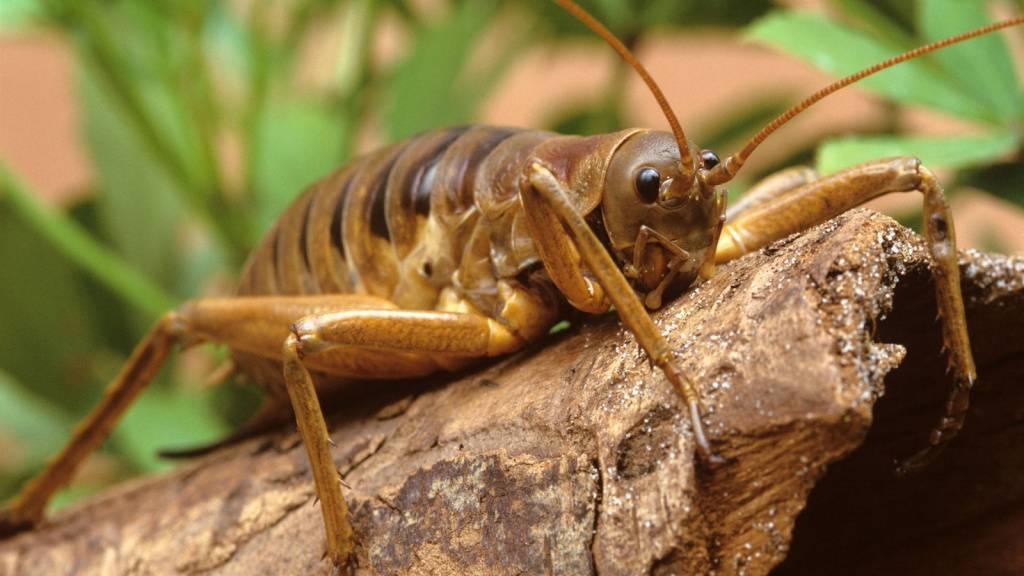 Степная дымка. дыбка степная: образ жизни и размножение хищного кузнечика