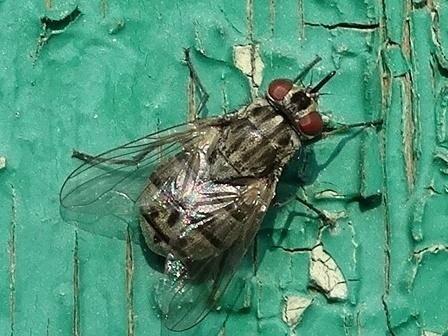 Описание и фото осенней мухи жигалки