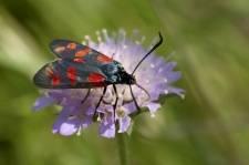 Стрекоза плоская: особенности внешнего вида и развития насекомых, факторы, угрожающие популяции