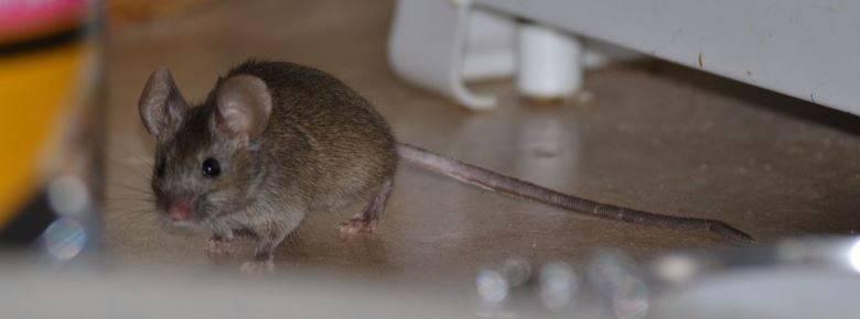 Как бороться с мышами в частном доме