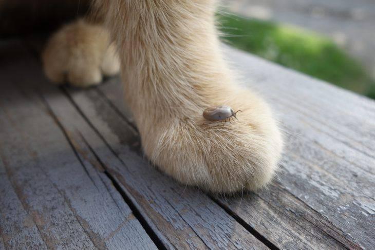 Клещи у котов: как найти и вытащить