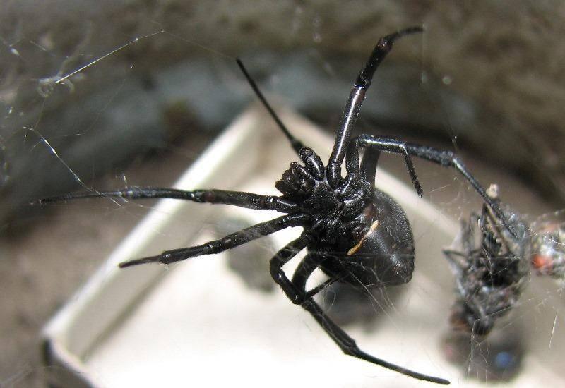 Осторожно: ядовитые пауки!