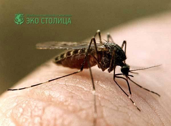 Давайте узнаем, сколько живет комар после укуса человека