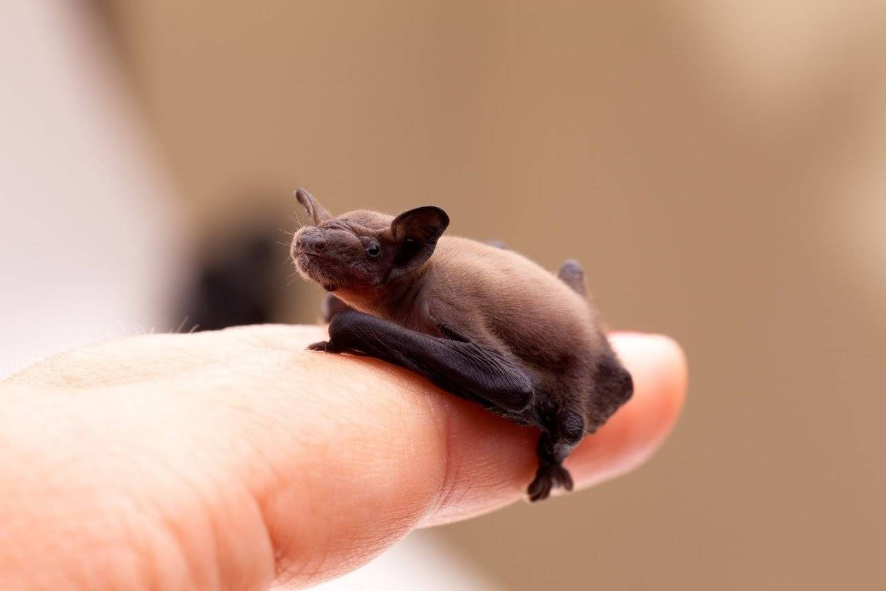 Как поймать и избавиться от летучих мышей