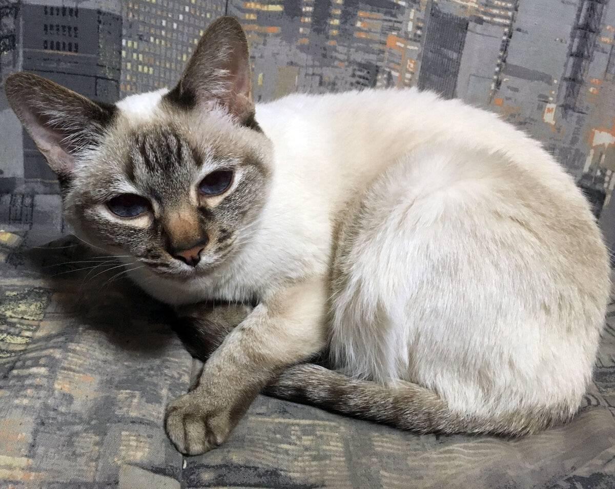 Как защитить кошку от клещей. список средств для обработки