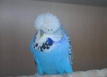 Как распознать клеща у попугая на ранней стадии?