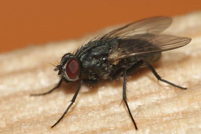 Сколько глаз у мухи или пчелы? сколько кадров в секунду видит муха и сколько у неё глаз