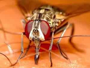 Почему мухи кусают в августе. почему мухи осенью кусаются? как кусает муха