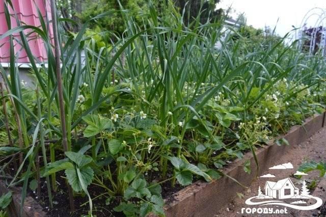 Клубеньковый долгоносик — уничтожитель клеверных полей