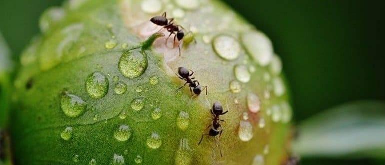 Нашатырный спирт против тли и муравьев: как травить