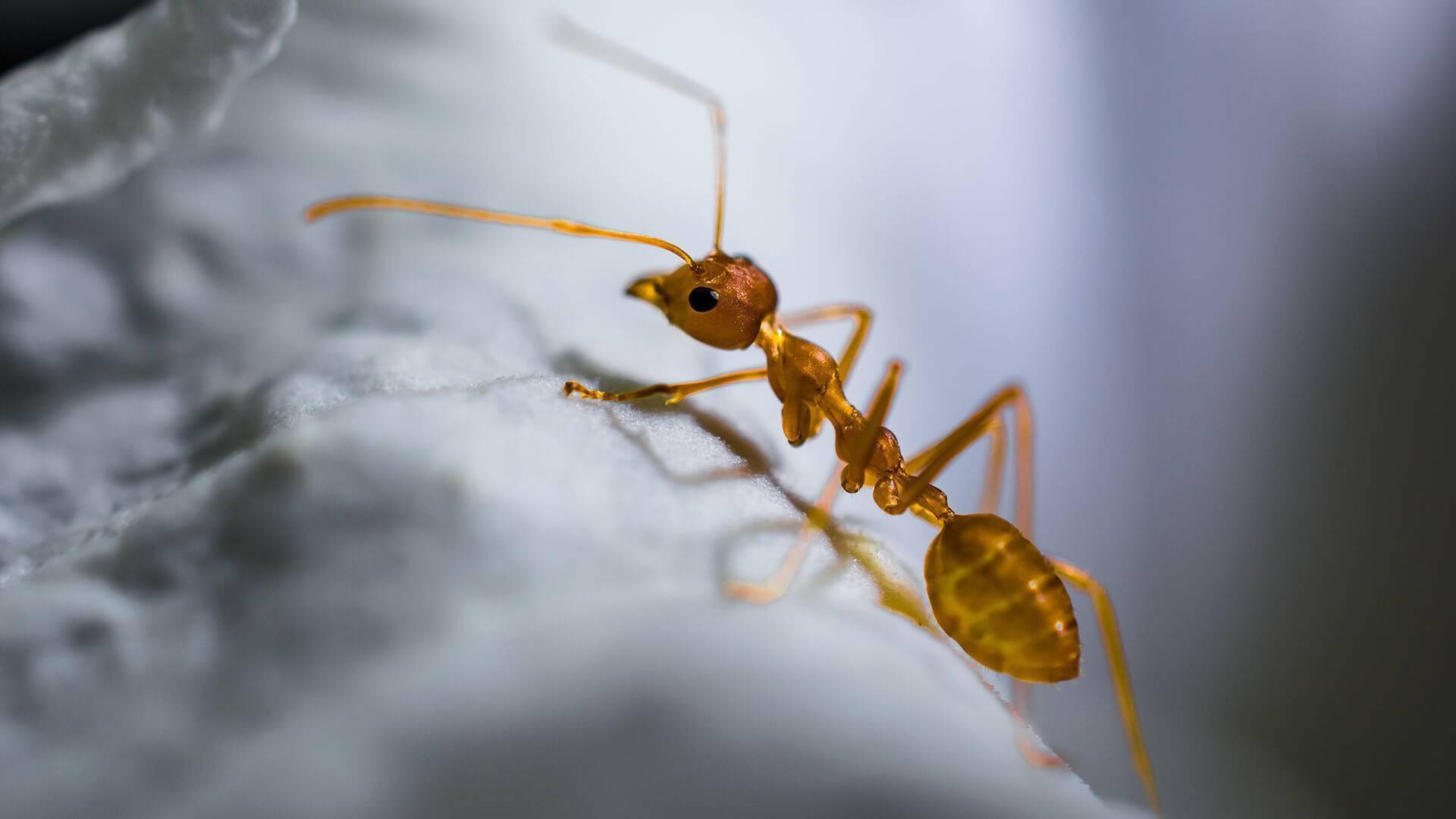 Домашний фараонов муравей: какой его вред и как с ним бороться?