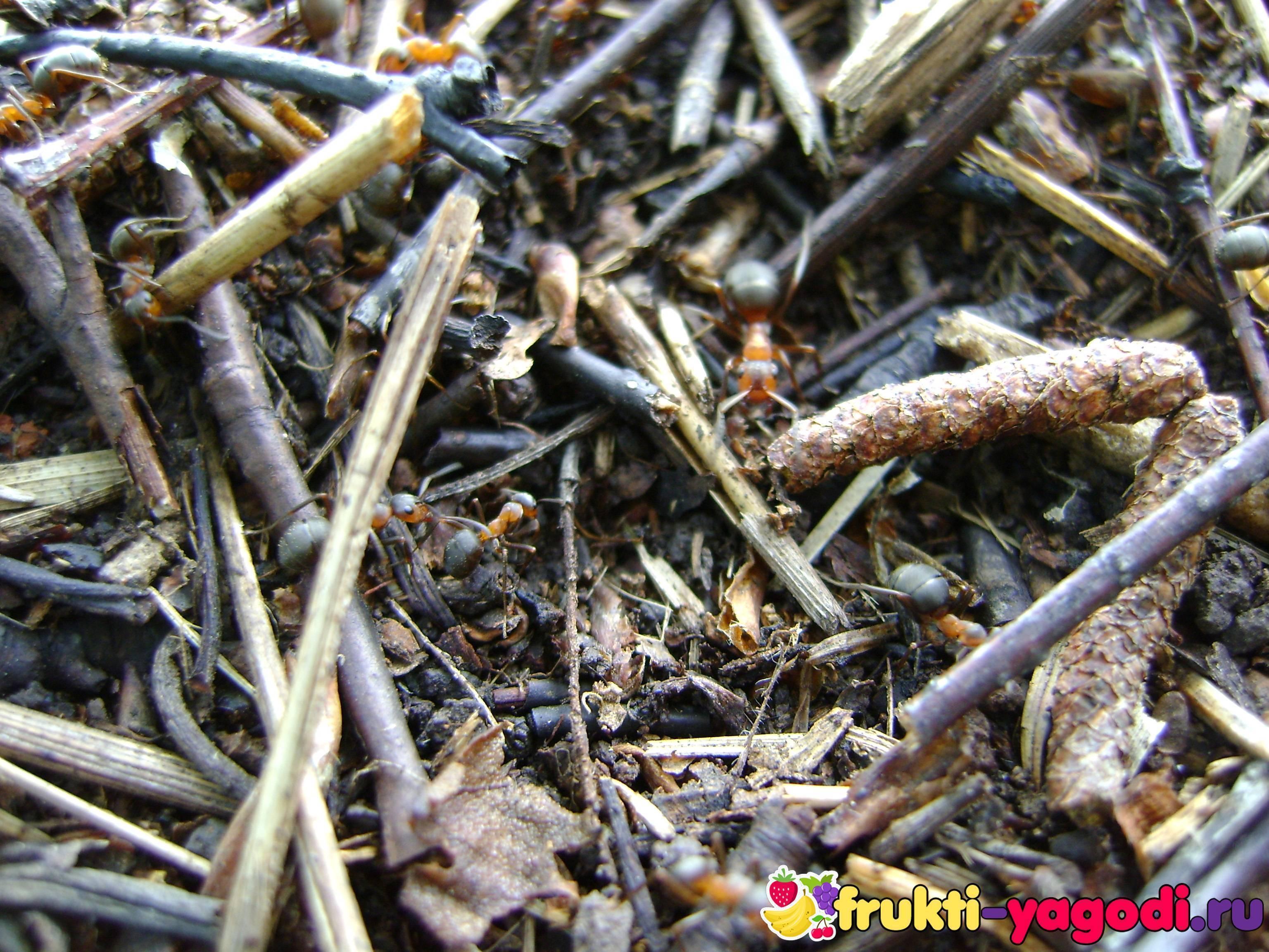 Как избавиться от муравьёв на деревьях плодовых