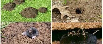 Методы борьбы с земляными крысами на огороде