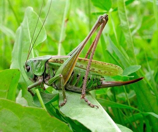 Все о насекомом саранче