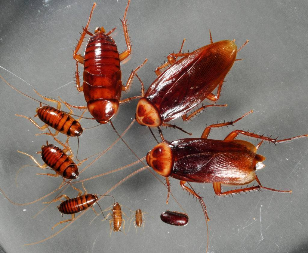 Рыжий таракан прусак и как избавиться от него