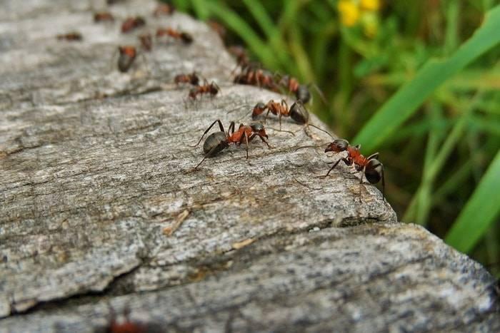 Желтые муравьи в квартире: методы борьбы с насекомыми