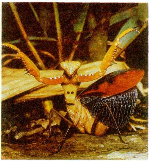 Как выглядит бабочка крапивница адмирал