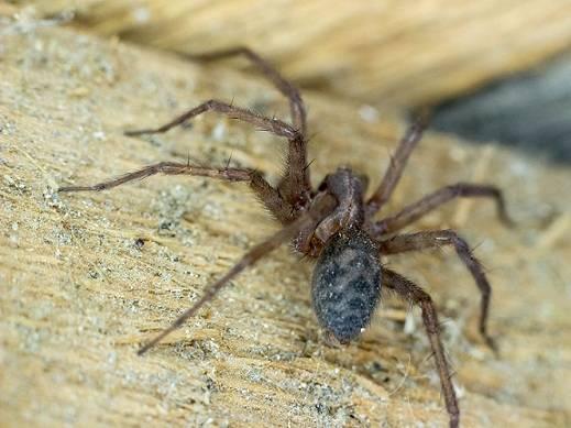 Черные вдовы – вид смертоносных пауков, широко распространенных по всему миру. паук чёрная вдова: фото разновидность черной вдовы