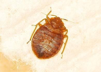 При какой температуре погибают блохи — методы воздействия высоких и низких температур на паразитов