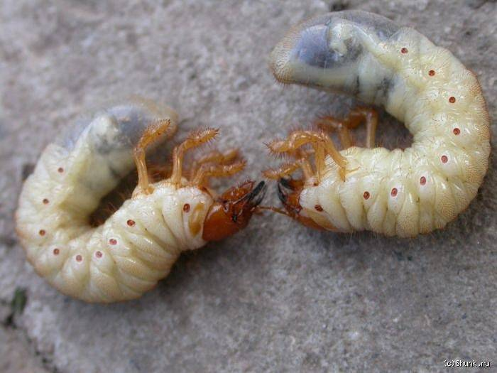 Личинки в компосте. личинки медведки, бронзовки, майского жука.