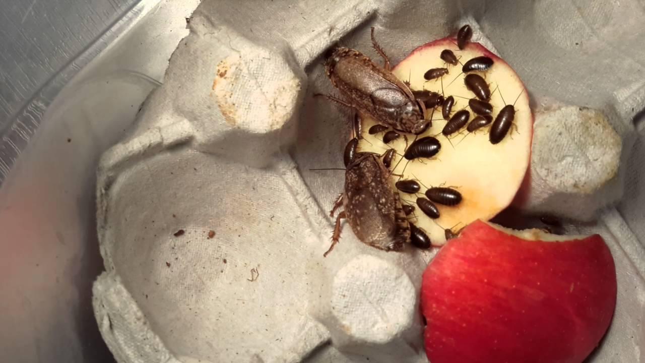 Мраморные тараканы: общие сведения