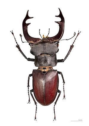 Афодий двупятнистый: как выглядит редкое насекомое
