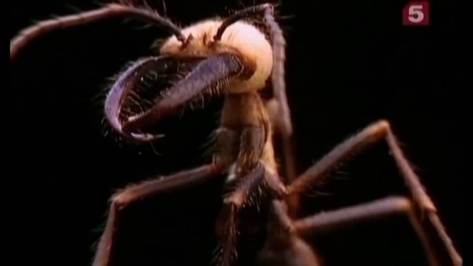 Самые опасные муравьи. муравьи убийцы – самые опасные в мире