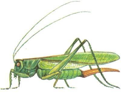 Кобылка голубокрылая – мастер маскировки среди саранчовых. кобылка - насекомое семейства саранчовые жизнь саранчи