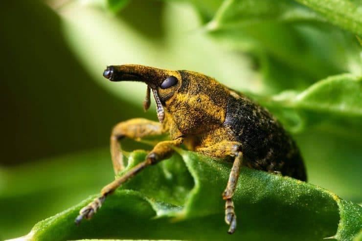 Долгоносик (скосарь, слоник), (curculionidae). описание, профилактика и методы борьбы с долгоносиком