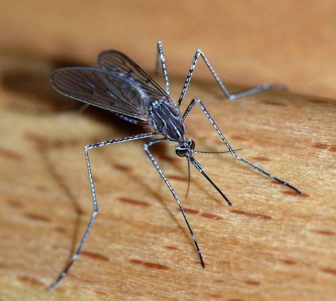 Чем комар может быть полезен?