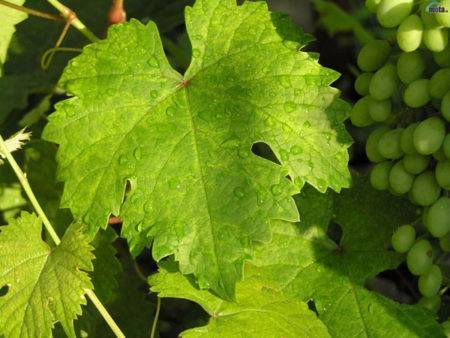 Филлоксера – как сделать виноград здоровым?