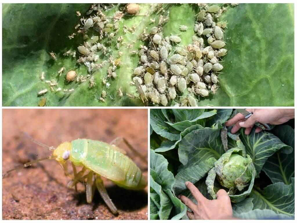 Незваный гость на огороде — тля. чем можно обработать капусту от этого вредителя?