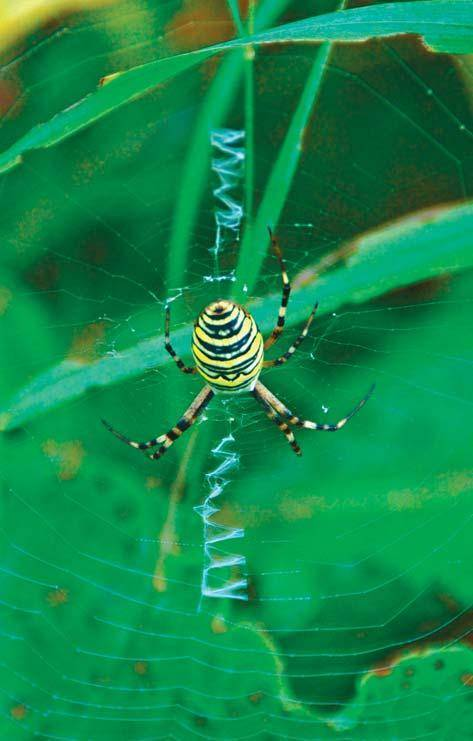 Какой паук похожий на осу. что представляет собой паук аргиопа? паук с белой полосой на спине