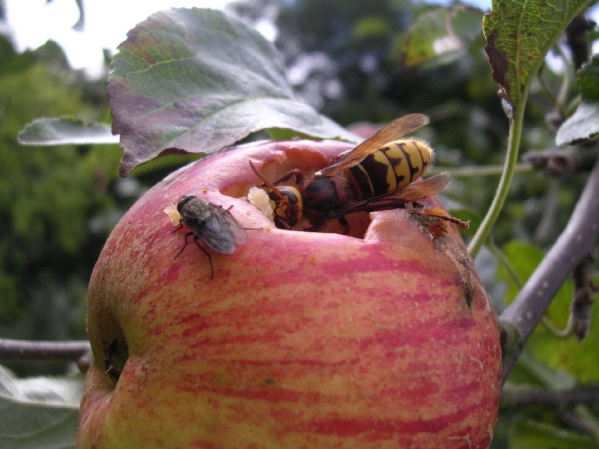 Борьба с шершнями