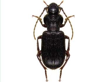 Красотел сетчатый – зеленый истребитель гусениц