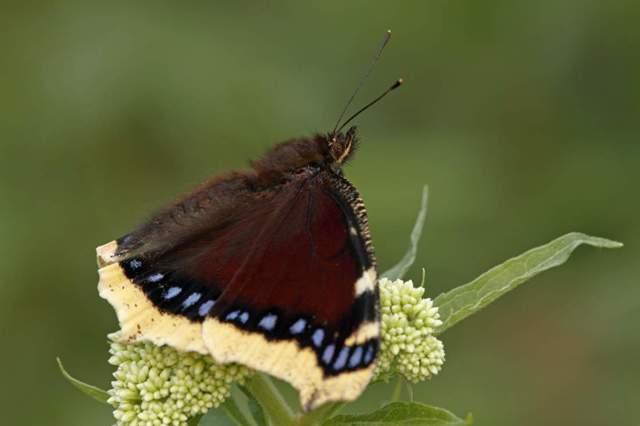 Как выглядят бабочки крапивница траурница адмирал
