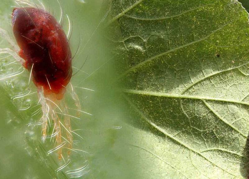 Как избавиться от паутинного клеща на огурцах