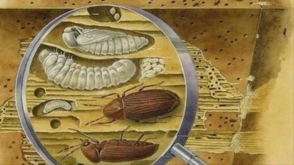 Как бороться с мебельным точильщиком. избавляемся от жука короеда на примере старинных часов