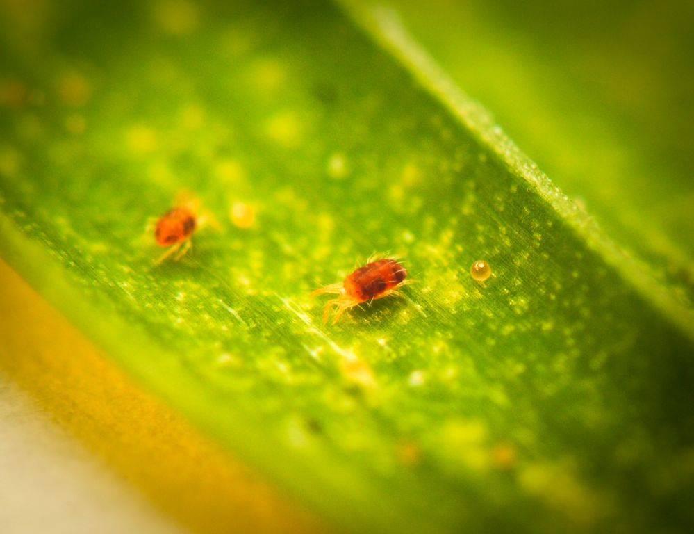 Как бороться с паутинным клещом на томатах в теплице и на открытом грунте