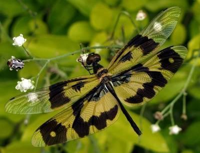 Стрекоза перевязанная: один из подарков природы, требующий охраны