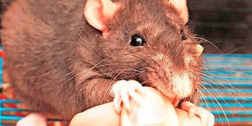 Укус крысы: что делать, и какие могут быть последствия