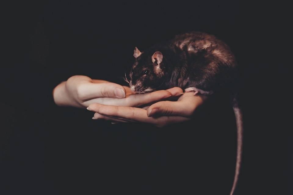 Что делать если укусила крыса